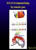 MCB 141 Developmental Biology Hox (homeotic) genes
